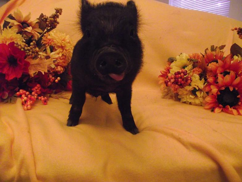 Here Are So Adorable Pictures Of Teacup Pigs Mini Pigs