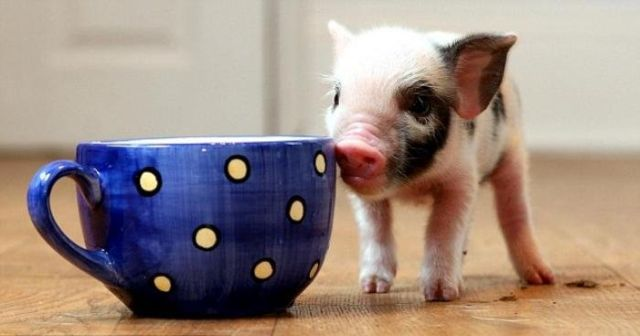 Teacup Pigs For Sale In Maryland