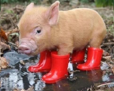 Pink Adult Teacup Pig Here are so adorable p...