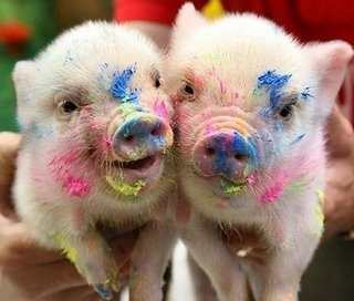Teacup pigs pictures and movies here are so adorable pictures of teacup pigsmini pigs found from different breeders all over the web they are extremely cute voltagebd Choice Image
